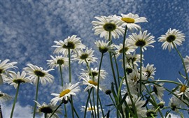 Some white daisies, petals, blue sky
