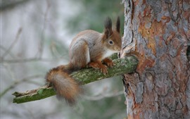 Preview wallpaper Squirrel on tree, wildlife