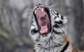 Preview wallpaper Tiger yawn, fangs, mouth