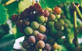 Vid, hojas, uvas frescas, fruta.