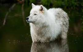 White wolf, stand in water