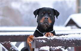 Preview wallpaper Black dog, look, snow, fence