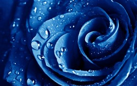 Preview wallpaper Blue rose macro photography, petals, water droplets
