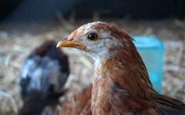 Preview wallpaper Chicken, head, beak