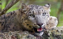 Vorschau des Hintergrundbilder Netter Gepard, Gesicht, Augen, Blick, Zähne