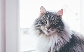 Preview wallpaper Fluffy cat, window, look, eyes