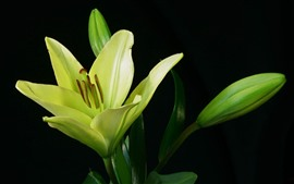 Preview wallpaper Green lily flower, black background
