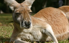 Preview wallpaper Kangaroo, rest, grass