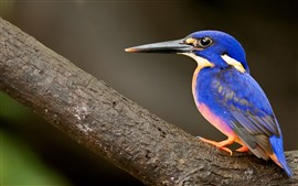 Aperçu fond d'écran Kingfisher, plume bleue
