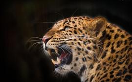 Leopardo, cabeça, rugido, dentes, fundo preto