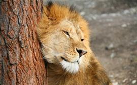Leão, juba, árvore