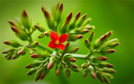 Aperçu fond d'écran Petites fleurs rouges, fond vert