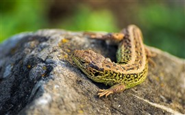 Preview wallpaper Lizard, eyes, stone