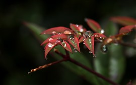 Preview wallpaper Nature, red leaves, water droplets, twigs