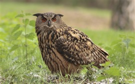 One owl, grass, bird