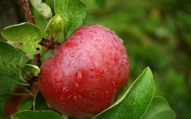 Preview wallpaper One red apple, water droplets, twigs, green leaves