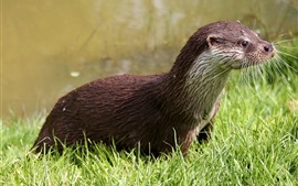 Otter, green grass, cute animal