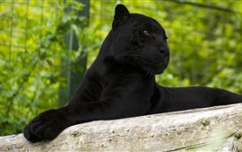 Preview wallpaper Panther, rest, look, zoo