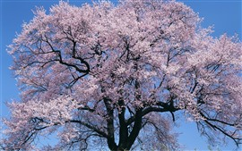 Preview wallpaper Pink flowers bloom, tree, spring