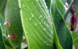 Some green leaves, surface, water droplets, dew