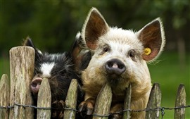 Two pigs, fence