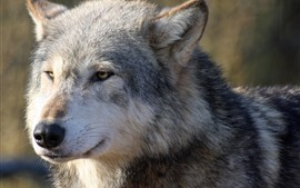 Preview wallpaper Wolf front view, face, nose, eyes, look