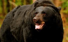 Urso preto olha, dentes