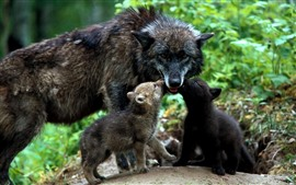 Preview wallpaper Black wolf, cubs, family