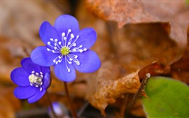 Aperçu fond d'écran Fleurs violettes bleues, feuilles