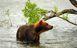 Brown bear, river, water, tree