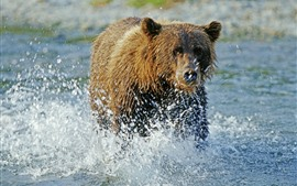 Brown bear walk in the water, water splash