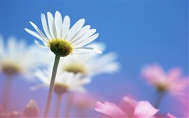 Ромашка, белые лепестки, стебель, голубое небо