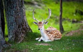Preview wallpaper Deer, rest, grass, horns, trees