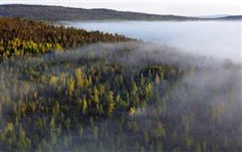 Floresta, árvores, nevoeiro, outono, manhã