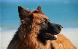 Preview wallpaper German shepherd dog, mouth, blue background