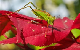 Preview wallpaper Grasshopper, red leaves, insect