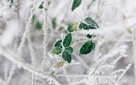 Preview wallpaper Green leaves, frost, twigs, winter