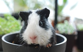 Preview wallpaper Guinea pig, cup