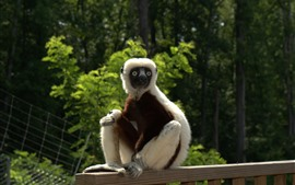 Preview wallpaper Lemur, monkey, fence, zoo