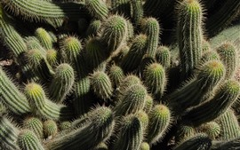 Preview wallpaper Many cactus, needles