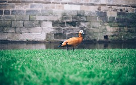 Preview wallpaper One duck, grass, water, wall