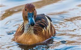 Un pato, gotas de agua, estanque