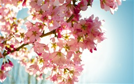 Preview wallpaper Pink sakura bloom, flowers, twigs, sky, glare