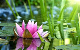 Preview wallpaper Pink water lily, pond, green leaves, sun rays