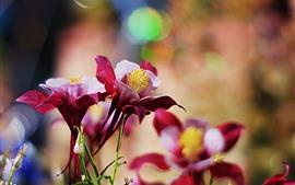 Flores vermelhas aquilégias, pétalas, nebulosas