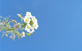 Preview wallpaper Small white flowers, blue sky
