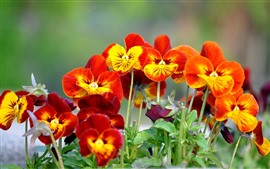Preview wallpaper Some orange pansy flowers