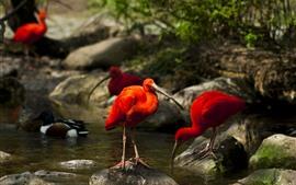 Alguns pássaros de penas vermelhas, pedras