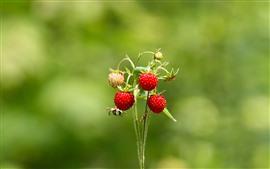 Fresas, tallo, fondo verde