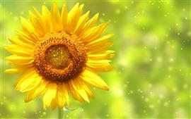 미리보기 배경 화면 해바라기, 노란 꽃잎, 별